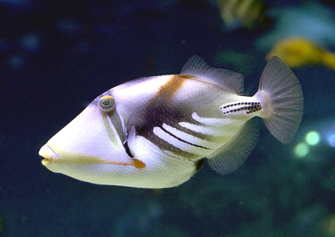 魚類図鑑/フグ目・トゲウオ目 魚類図鑑/フグ目・トゲウオ目 フグ目の魚類 フグ目に属している魚類
