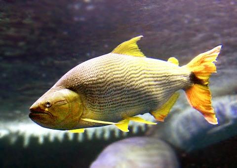 魚類図鑑 ドラド