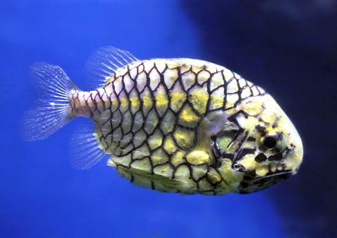 魚類図鑑・マツカサウオ